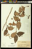 view Stigmaphyllon arenicola C.E. Anderson digital asset number 1