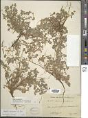 view Oxalis radicosa digital asset number 1