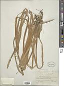 view Eleocharis dulcis (Burm. f.) Trin. ex Hensch. digital asset number 1
