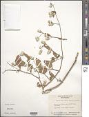 view Alternanthera brasiliana (L.) Kuntze digital asset number 1