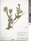 view Polygala monninoides H.B.K. digital asset number 1