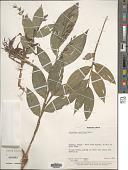 view Ichnanthus panicoides P. Beauv. digital asset number 1