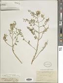 view Astragalus lentiginosus var. chartaceus M.E. Jones digital asset number 1