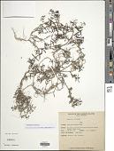 view Oldenlandia corymbosa L. digital asset number 1