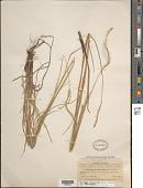 view Elionurus tripsacoides var. tripsacoides digital asset number 1