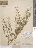 view Rorippa palustris var. fernaldiana digital asset number 1