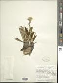 view Oritrophium peruvianum (Lam.) Cuatrec. digital asset number 1