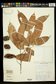 view Cullenia ceylanica (Gardner) K. Schum. digital asset number 1