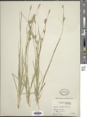 view Carex meadii Dewey digital asset number 1