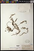 view Euphorbia liukiuensis Hayata digital asset number 1