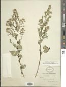 view Symphyotrichum cordifolium subsp. laevigatum digital asset number 1