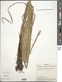view Eleocharis interstincta (Vahl) Roem. & Schult. digital asset number 1