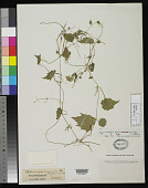 view Hydrocotyle acuminata var. boliviana Kuntze digital asset number 1