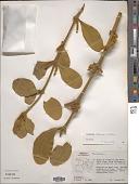 view Phoradendron robinsonii Urb. digital asset number 1