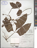 view Cissus trilobata Lam. digital asset number 1
