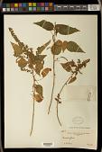 view Acalypha subviscida S. Watson digital asset number 1