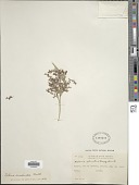 view Scleria latifolia Sw. digital asset number 1