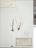 view Equisetum palustre L. digital asset number 1
