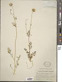 view Gilia capitata subsp. abrotanifolia (Nutt. ex Greene) V.E. Grant digital asset number 1