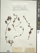 view Pedicularis furfuracea Wall. ex Benth. digital asset number 1