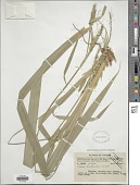 view Carex harlandii Boott digital asset number 1