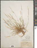 view Aristida setifolia Kunth digital asset number 1