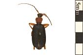 view False Bombardier Beetle digital asset number 1