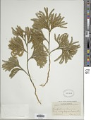 view Lycopodium obscurum var. obscurum L. digital asset number 1