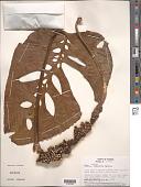 view Monstera oreophila Madison digital asset number 1