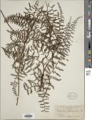 view Adiantopsis chlorophylla (Sw.) Fée digital asset number 1