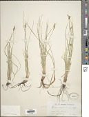 view Carex halleriana Asso digital asset number 1