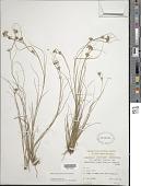 view Rhynchospora tenuis var. maritima Bock digital asset number 1