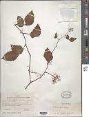 view Cayratia carnosa (Lam.) Gagnep. digital asset number 1