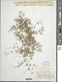 view Galium concinnum Torr. & A. Gray digital asset number 1