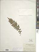 view Lomariopsis vestita E. Fourn. digital asset number 1