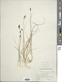view Carex media R. Br. digital asset number 1