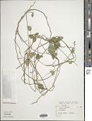 view Macroptilium atropurpureum (Moc. & Sessé ex DC.) Urb. digital asset number 1
