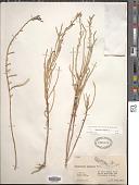 view Salicornia virginica L. digital asset number 1