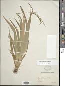 view Carex laxiflora Lam. digital asset number 1