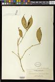 view Trichosporum cardinale Copel. ex Merr. digital asset number 1