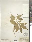 view Daphnopsis americana subsp. caribaea (Griseb.) Nevling digital asset number 1