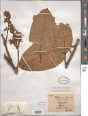view Wightia elliptica Merr. digital asset number 1
