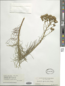 view Senecio paniculatus P.J. Bergius digital asset number 1