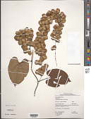 view Dioscorea pilosiuscula Bertero ex Spreng. digital asset number 1