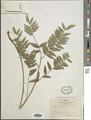 view Hedysarum marginatum Greene digital asset number 1