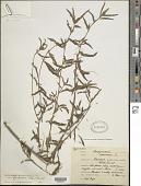view Aeschynomene americana var. glandulosa (Poir.) Rudd digital asset number 1