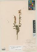 view Hedysarum auriculatum Eastw. digital asset number 1