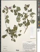 view Pavonia lasiopetala Scheele digital asset number 1