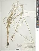 view Carex pairae F.W. Schultz digital asset number 1