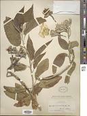 view Ipomoea murucoides Roem. & Schult. digital asset number 1